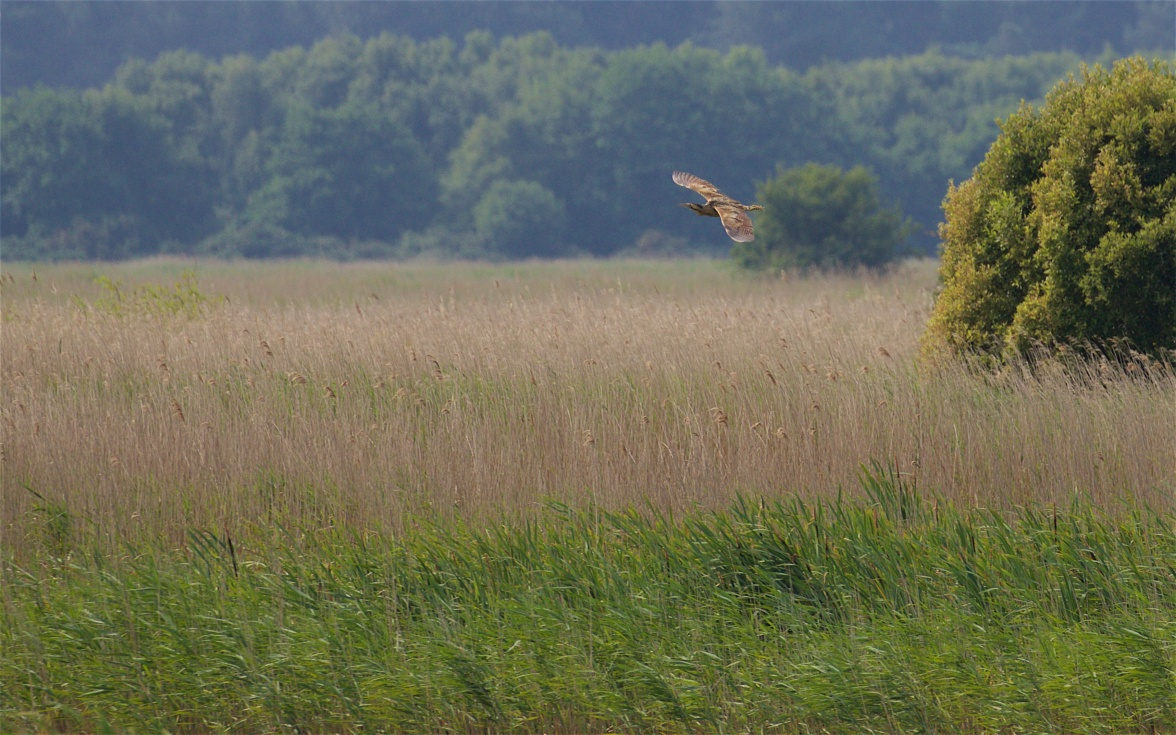 Distant bittern briefly over the reedbed