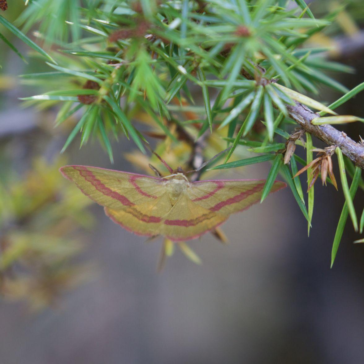 Day-flying moth on juniper