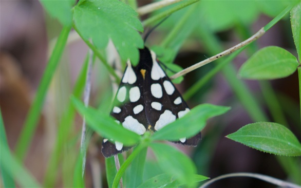 Cream tiger moth