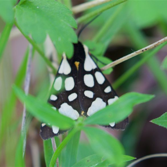 Cream tiger moth