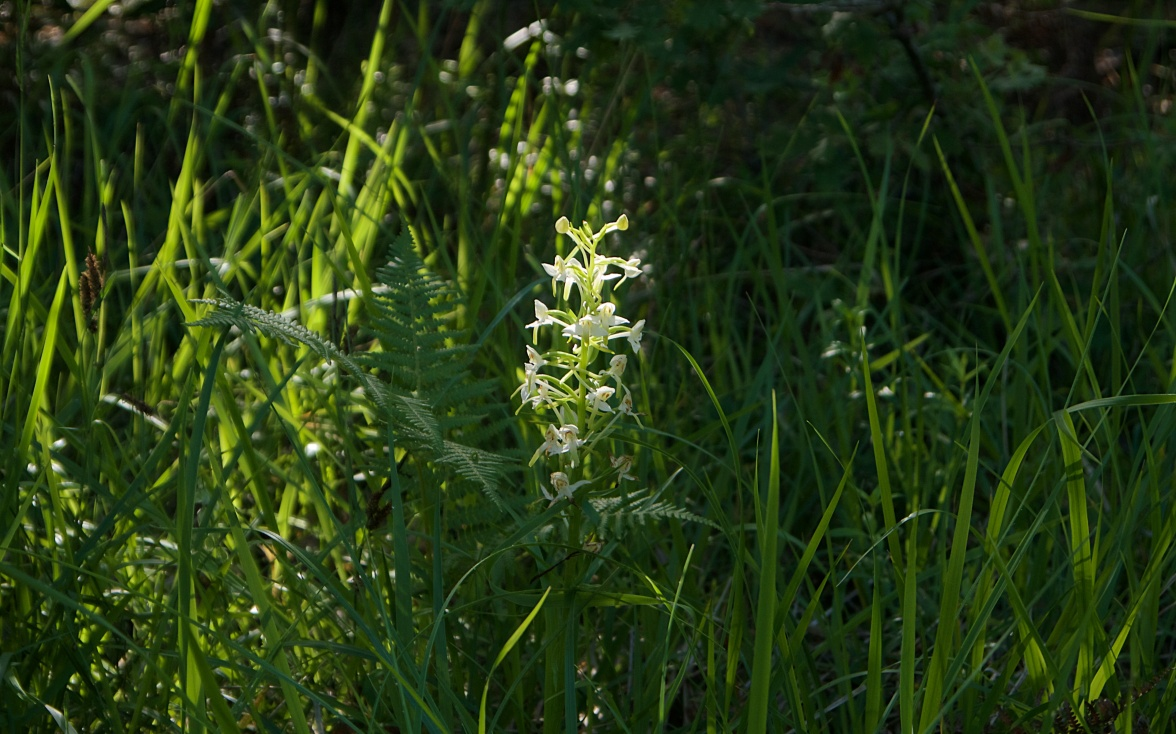 Butterfly orchid in the woodland