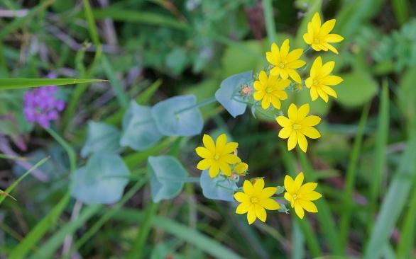 Yellow-wort