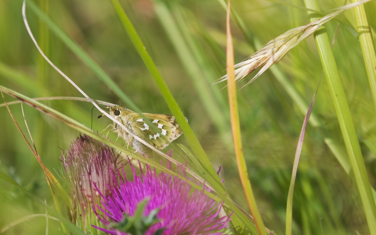 Silver-spotted skipper on stemless thistle