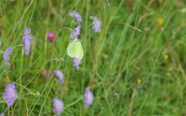 Brimstone on field scabious