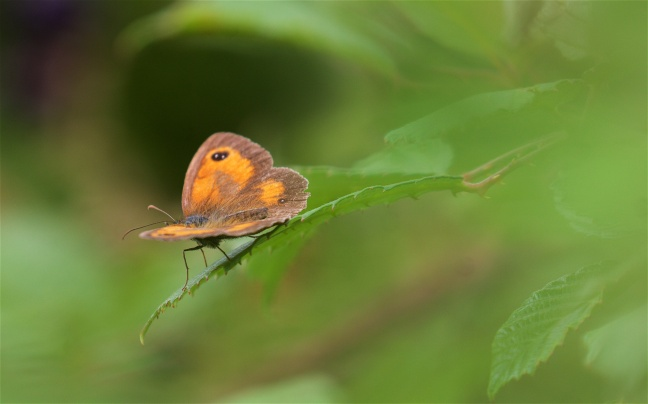 Gatekeeper on bramble