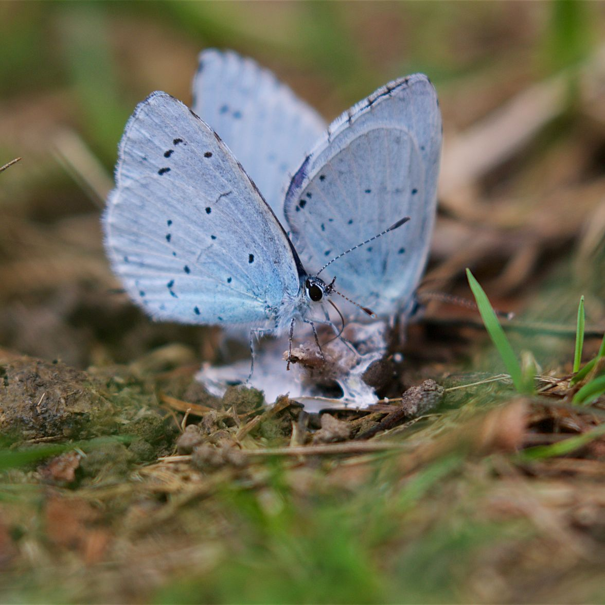 Three male holly blues on a bird dropping