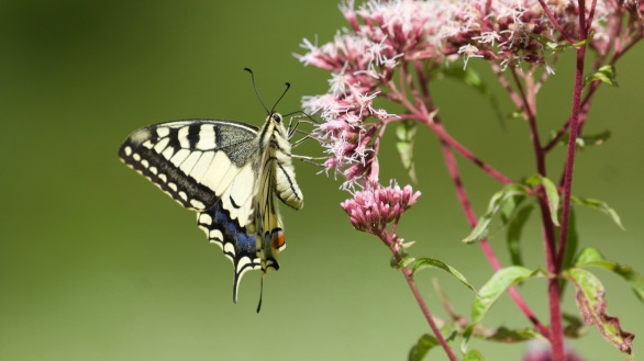 Swallowtail on hemp agrimony