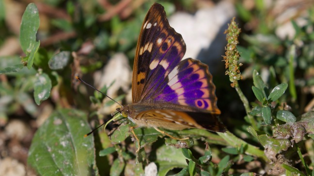 Lesser purple emperor taking up salts from the ground