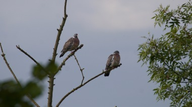 Woodpigeon pair