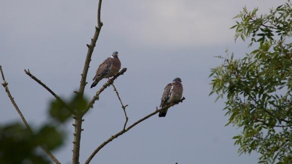 Woodpigeon pair