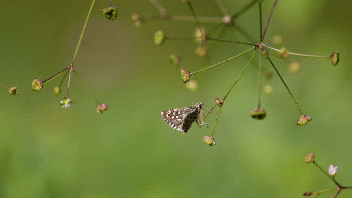 Grizzled skipper on water plantain
