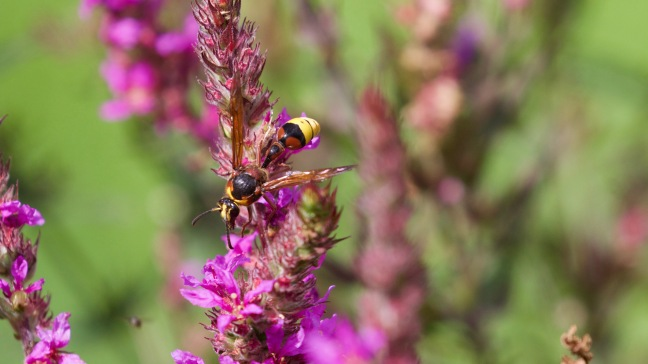 Wasp species on purple loosestrife