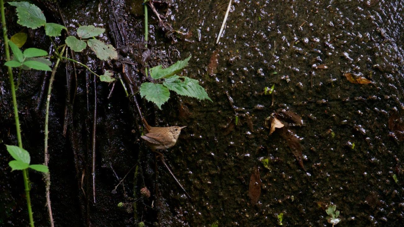 Wren on the weir wall