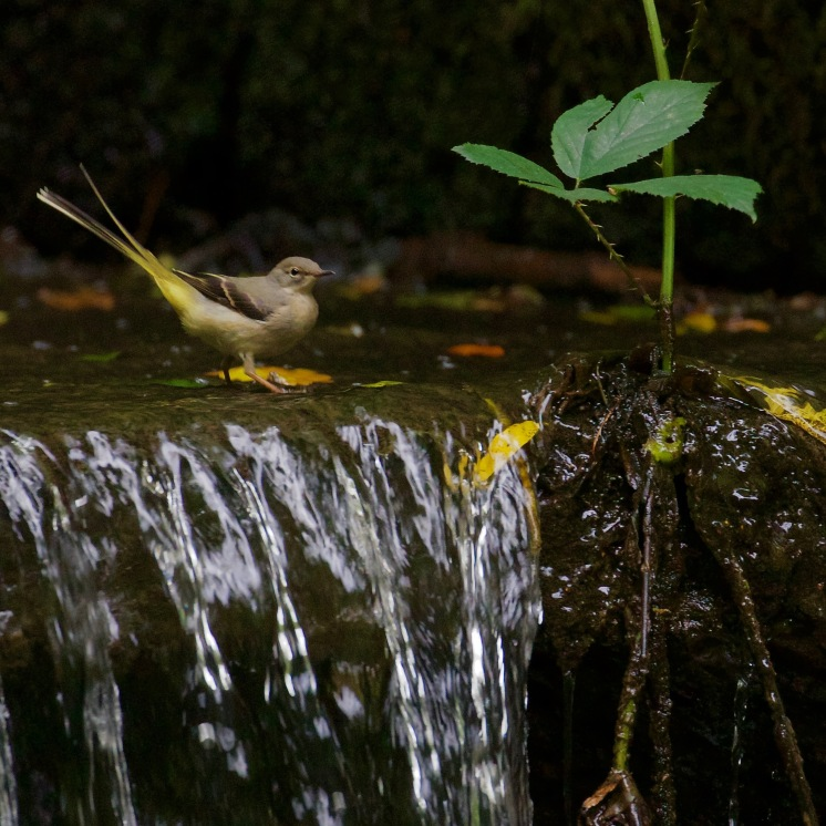 Grey wagtail on the weir