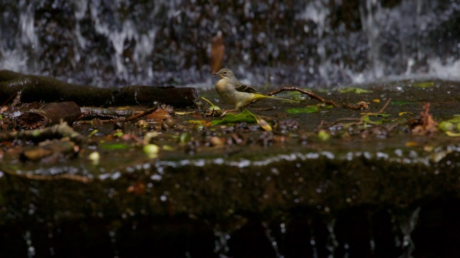 Tale of Two Wagtails - 6