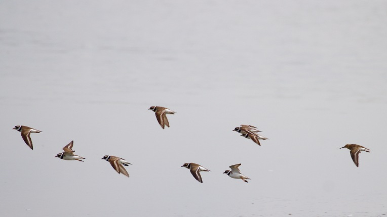 Ringed plovers and a dunlin