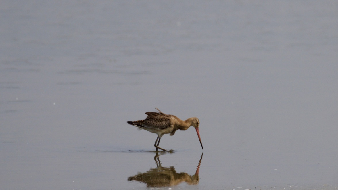 Solitary bar-tailed godwit