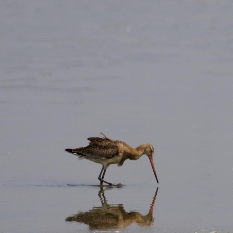 Solitary bar-tailed godwit