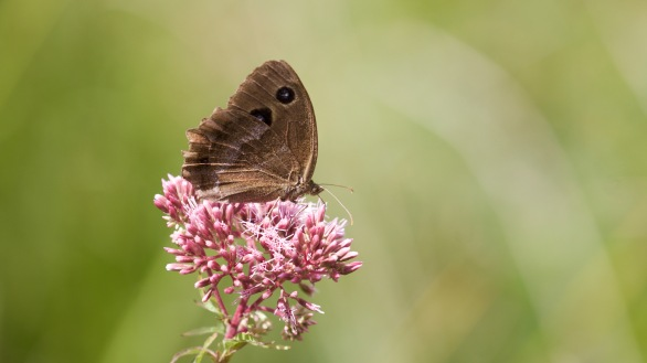 Dryad on hemp agrimony