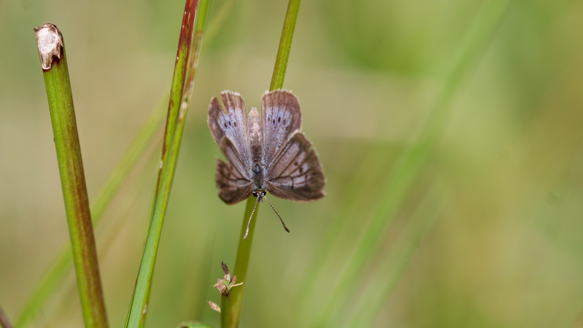A Scarce Large Blue Day