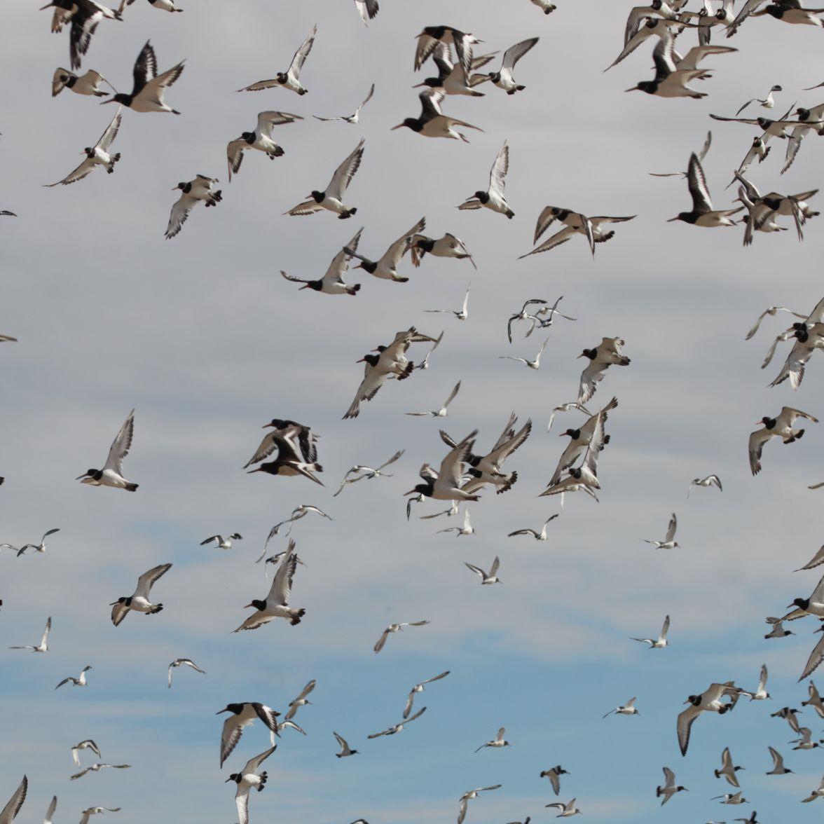 Swirling flock of oystercatchers