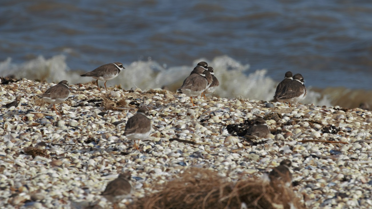 Ringed plover high tide roost