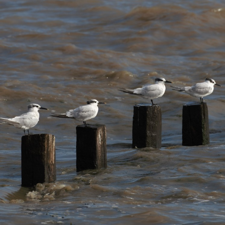Sandwich terns at high tide