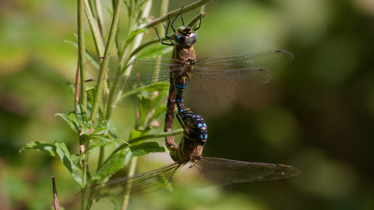Migrant hawker (Aeshna mixta) mating