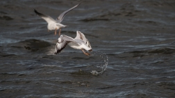 Immature black-headed gulls 2