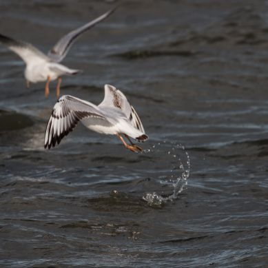 Immature black-headed gulls 2
