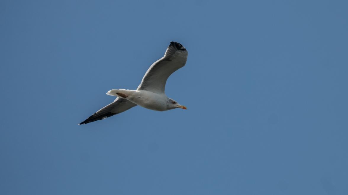 A watchful herring gull