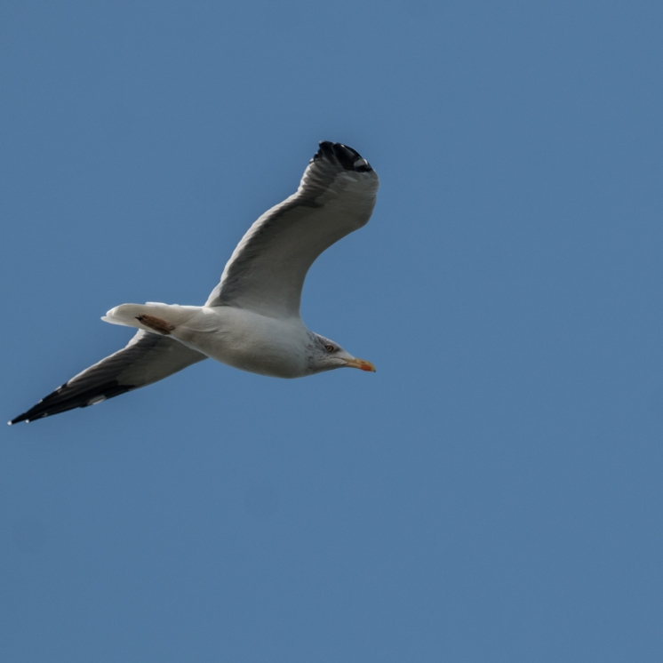A watchful herring gull