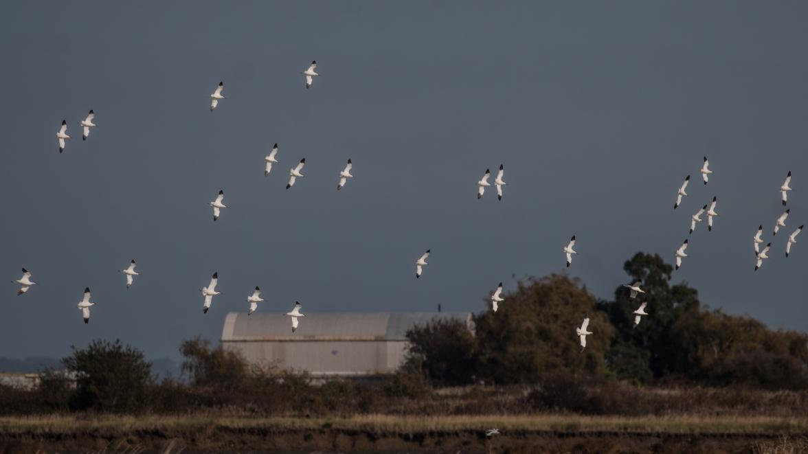 Avocet flock 2