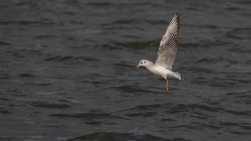 Immature black-headed gull