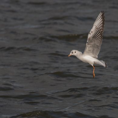 Immature black-headed gull