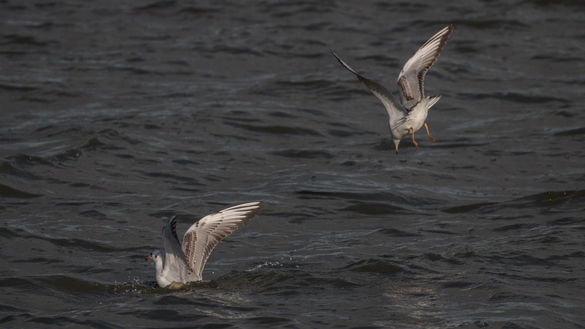 Immature black-headed gulls 1