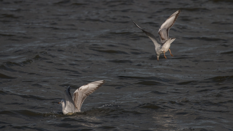Immature black-headed gulls 1