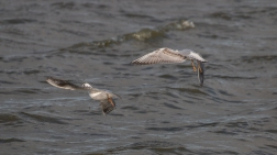 Immature black-headed gulls 3