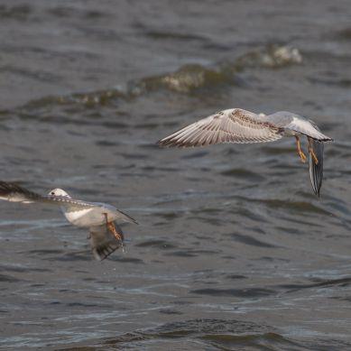 Immature black-headed gulls 3
