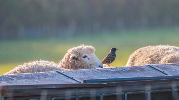Sheep and starling