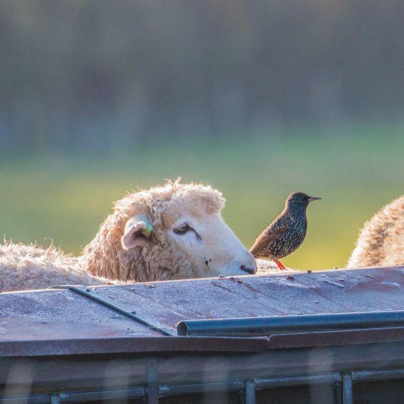 Sheep and starling