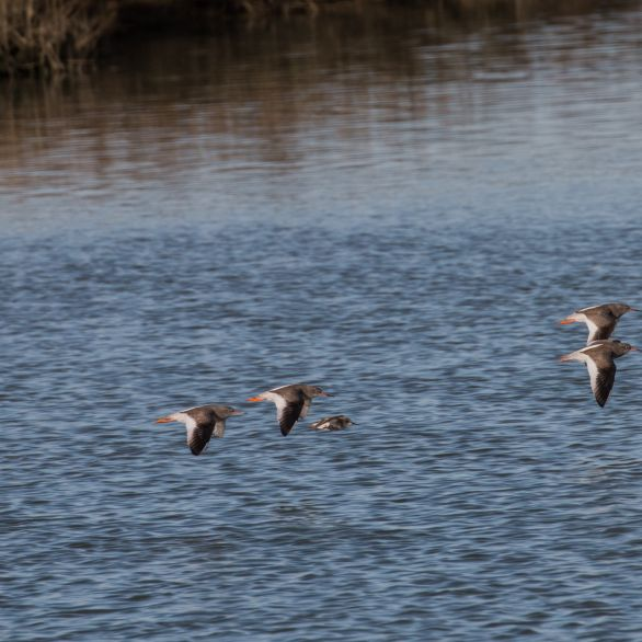 Redshanks chased out of the creek