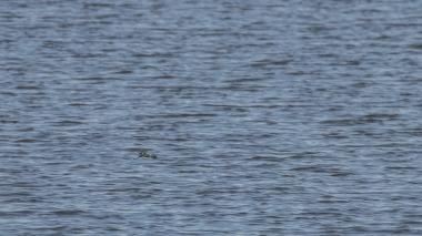 Spot the coastal kingfisher