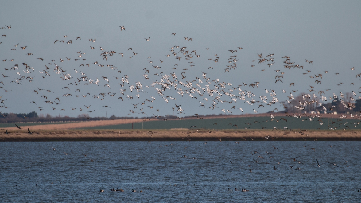 Wheeling flocks of avocet and wigeon