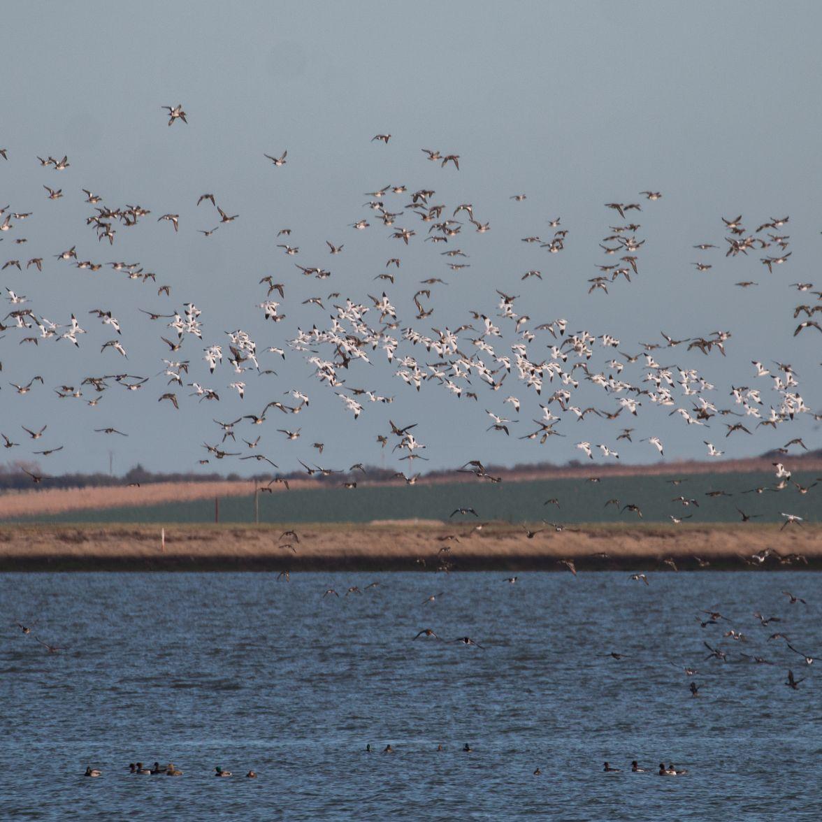 Wheeling flocks of avocet and wigeon