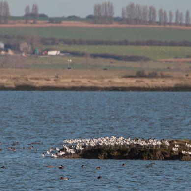 Avocets on the west end of Fowley Island