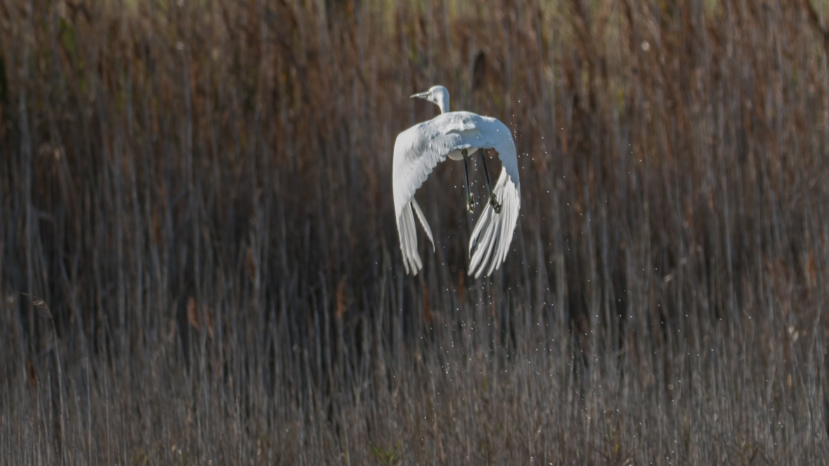 Escaping little egret