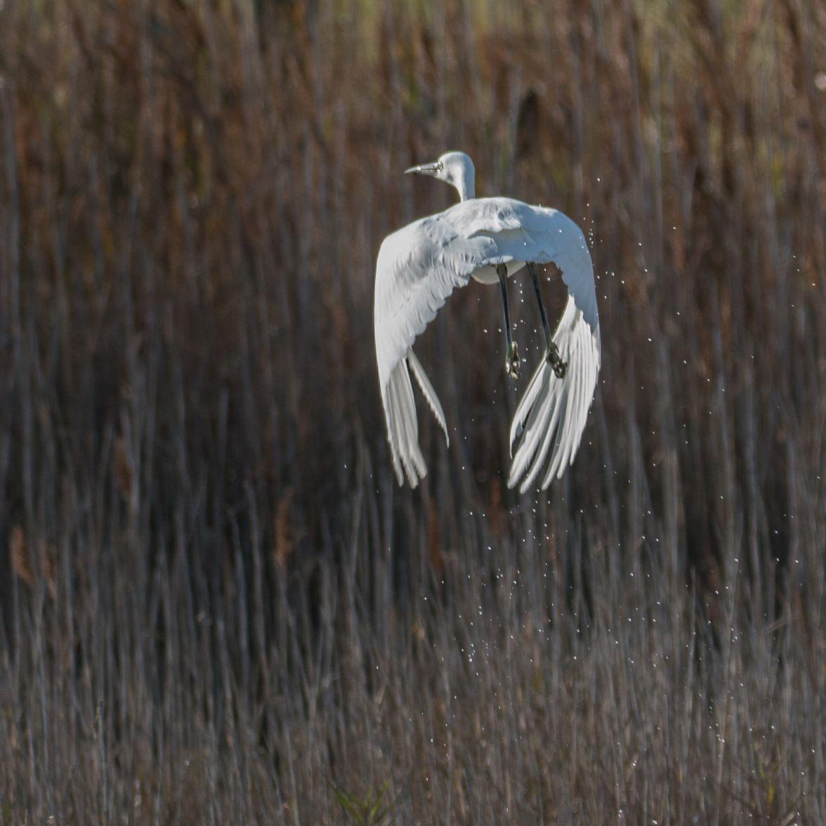 Escaping little egret
