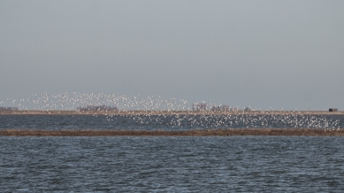 Fowley Island is almost submerged and waders move west to roost in the fields at Elmley