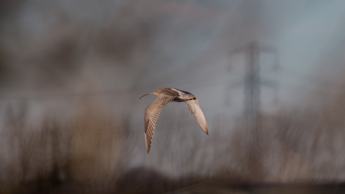 Curlew leaving the creek